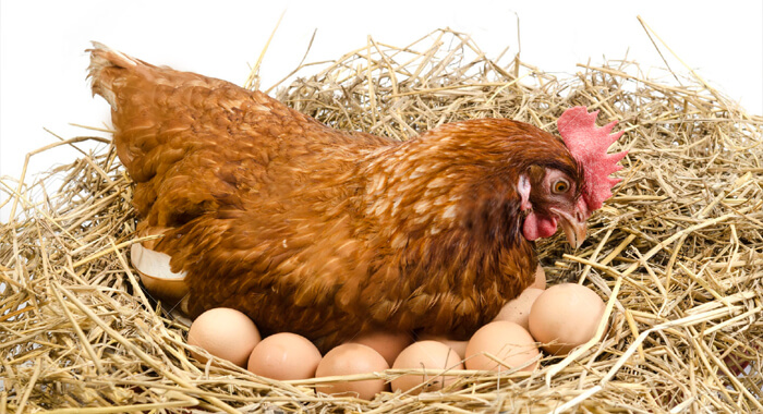 25548891-Isolated-brown-hen-with-egg-in-the-studio-Stock-Photo
